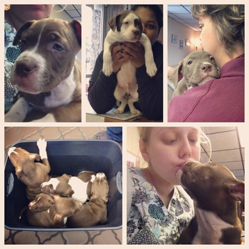 I guess an 11 hour shift isn't so bad when a box of 5 boy puppies that were delivered via emergency c-section at your work 9 weeks ago come back in and you get showered in kisses. (at Montgomery Animal Hospital)
