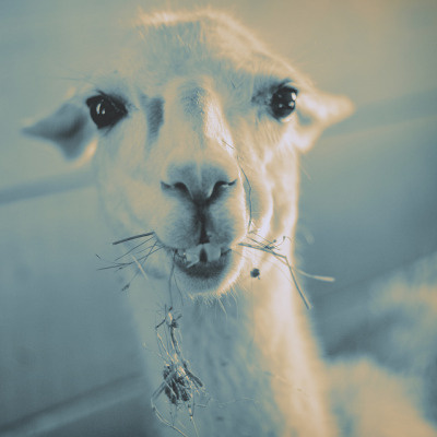 roberto100:  Momentary Dialogue with Llama on Flickr. this is Fergie the llama. she likes to sit around all day eating hay and watching re-runs of Oprah.  she has beautiful eyes