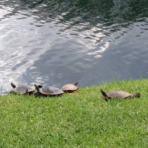 gg128:  Just stretching in the sun #funny #turtles #fiu #sunny