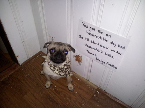 "dogshaming:  Going Rogue on the Wall  ""You got me an indestructible dog bed so I'll start work on the destructible walls. Thanks, Wedge…  View Post  THIS DOG HAS THE BEST. NAME. EVER."