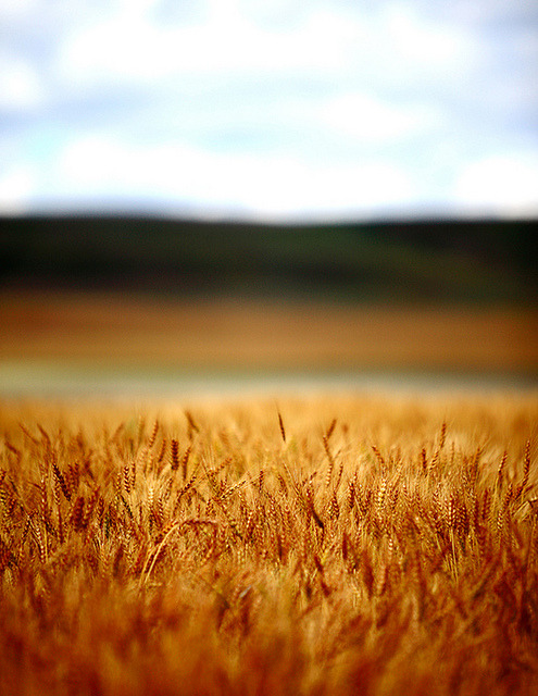 andreipinter:  Flaxen Layers of Wheat by Todd Klassy on Flickr.