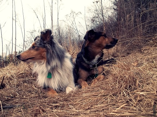 macgie:  with Sheimi (Heartbreaker Perla z Polabí) Shetland Seepdog (in Košice, Slovakia)  their relationship in a nutshell.