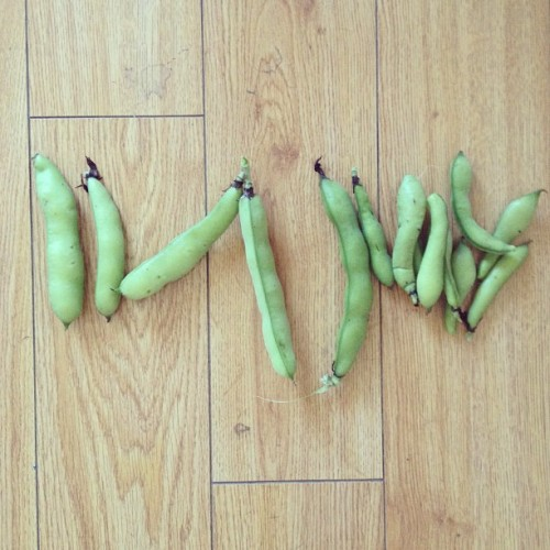 #TodaysHarvest : #FavaBeans the size of my face 😜🌿💕 #Myorganiclife #growfoodnotlawns #backyardbeans #blessedbeans #growyourown #organicharvest