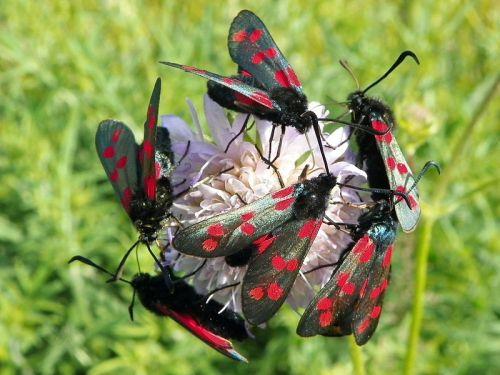 Common Name: Six-Spot Burnet Moth Scientific Name: Zygaena filipendulae Conservation Status: Not Threatened This moth is a type of moth known as a day-flier, moths that are out during the day rather than at night. What's pretty cool about day-fliers is that they're just as beautiful (if not more) as butterflies! The six-spot burnet is a moth commonly found throughout Europe and the UK. They tend to bunch together in large colonies. CLICK HERE FOR THE REST OF THE POST Interested in liking my blog's Facebook Page?