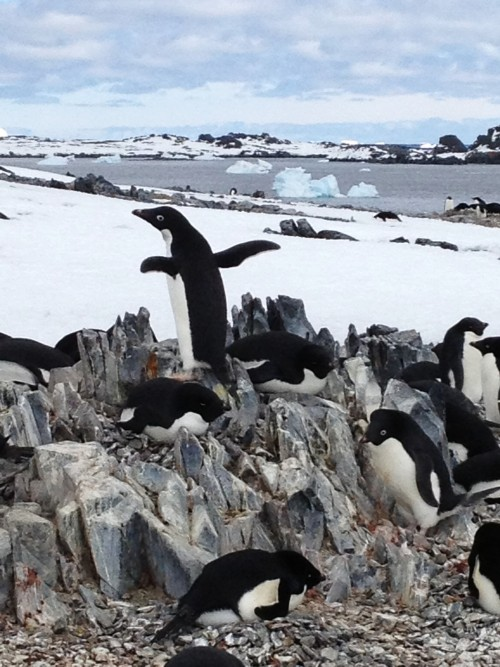Adelie penguin colony.  Antarctica.