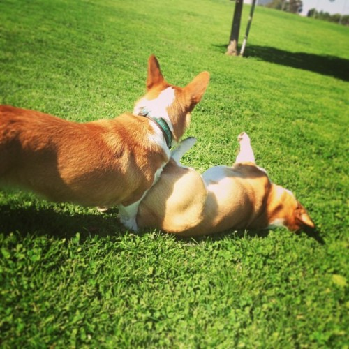 Corgi party at the park! We met a corgi named Churchill! #dailycorgi  (at Cheviot Hills Park)