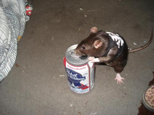 truckyeah:  this rat is so goddamn punk I can't get over it