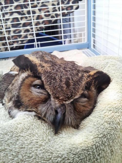 "chubbyvegans:  [Image: A brown and black owl with his or her eyes closed on a white rug] veganspartyharder:  ""I died today. I was found by a kind, sweet woman who does wildlife rescue.I was so sick, I could barely open my eyes.She took me inside, cradling me in her warm arms, and made me warm and comfortable.I opened my eyes and looked at her and thanked her for making my last few minutes as comfortable as possible.But I was too sick to keep fighting anymore. I had eaten a mouse that was poisoned, and it made me very sick. I closed my yellow eyes for the last time and went somewhere else.Please, all I ask is never use poison to kill the mice. If you have a rodent problem, please consider using humane traps to catch and re-release them somewhere else.Poison kills owls and other wildlife, like me as well as dogs and cats! All I wanted was a mouse for dinner.I died today…."" Please SHARE this for poison awareness.Stop the use of poison for rats or mice. Its cruel enough to poison mice to begin with.. But other animals die too from eating poisoned mice like this owl… If you have a mouse problem, please set humane live traps and rerelease.   My Friend used to live with a cat that died that way :( I think that is why she doesn't want me to go outside"