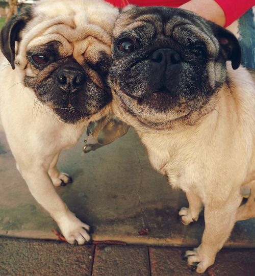 Look at their faces!  Oh, my heart.packupthestars:PUG <3