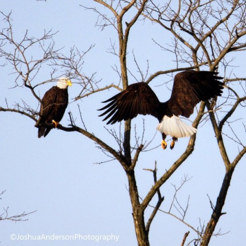 joshuaandersonphotography:  Bald Eagles, Ross County Ohio. #baldeagles #baldeagle #eagle #animal #bird #wild #wildlife #nature #raptor #fly #flying #ohio