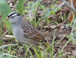 White-crowned Sparrow by billybush111 on Flickr.