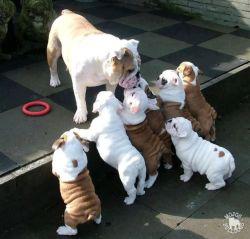dog animals cute puppy animal family Bulldog