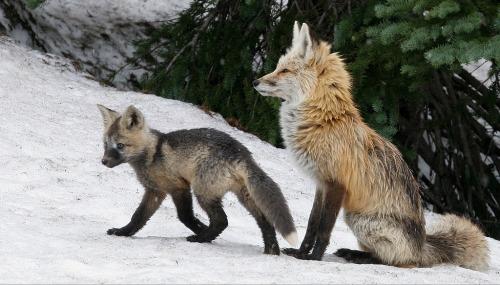 animals fox red fox
