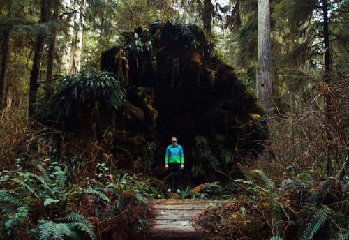 Ross standing inside a fallen Redwood!