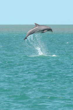 theanimaleffect:  Jumping dolphin-2 by johnaalex on Flickr.