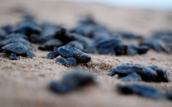 Newly-hatched Olive Ridley turtles make their way to the ocean at Rushikulya river mouth beach in Ganjam district. Thousands of Olive Ridley sea turtles nest their eggs in parts of the Bay of Bengal Sea on the beach at Rushikulya. Millions of baby Olive Ridley turtles are hatching and entering the Bay of Bengal, one of the mass nesting sites in the Indian coastal state of Orissa. Picture: AFP/Getty Images