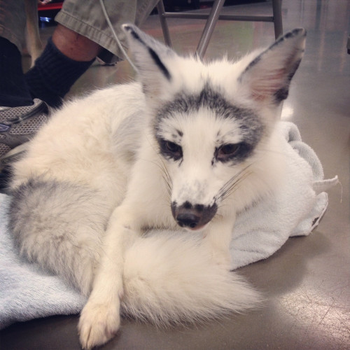 thenakedbusinessman:  A picture of a domesticated Silver Fox. This is all I want to own in my life.