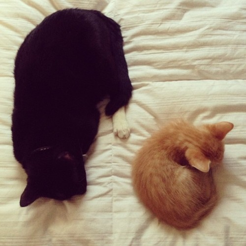 ketaminereverie:  sleeping together 😍 #meow #kitties #cute