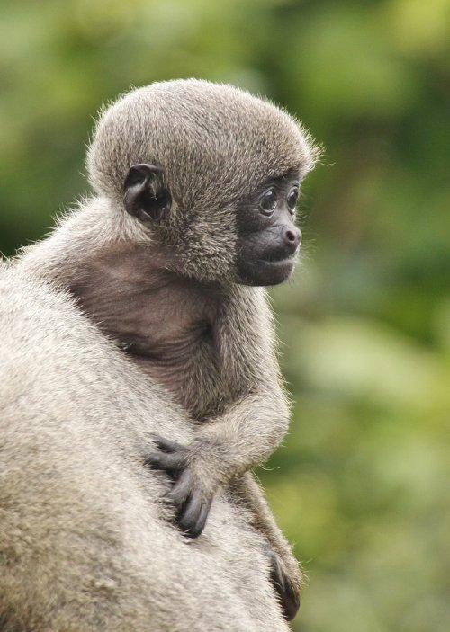 earth-song:   Woolly Monkey by *hi2u2day