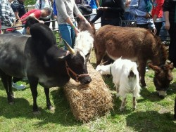 Hey the petting zoo is still going on in Erickson Field until 2. Come out and pet cute bunnies and llamas and sheep and stuff :D