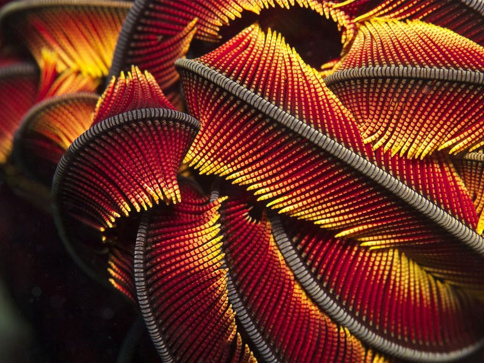 faunafacts:  Crinoid, New Caledonia by Rodolphe Holler