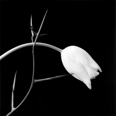 """Tulip"" (1985) Robert Mapplethorpe"
