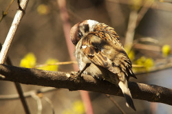 Eurasian Tree Sparrow / Полевой воробей (Passer montanus) by Altvod on Flickr.