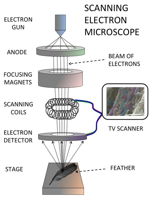The Composition and Uses of The Microscope