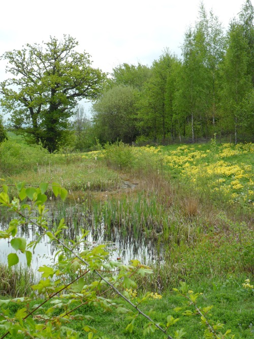 vwcampervan-aldridge:  Woodland Pond surrounded by Yellow Cowslips, Mancetter, Leicestershire, England All Original Photography by http://vwcampervan-aldridge.tumblr.com