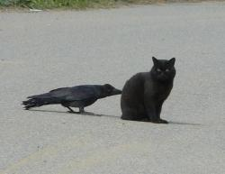 Bad crow pokin the cats butt