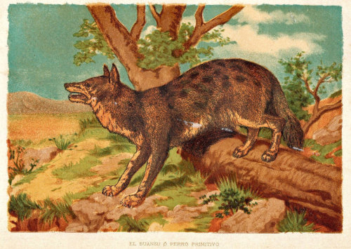 Indian Wild Dog Print (Cuon alpinus) 1892 Antique Lithograph Print, Natural History 120 Years Old at CarambasVintage http://etsy.me/Zid6H2