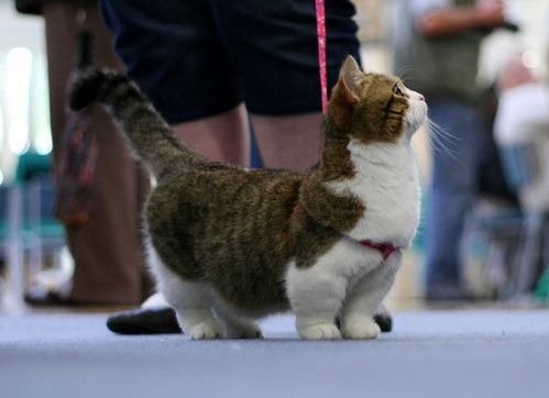 mctwerk:  ok so 3 people messaged me asking what munchkin cats look like. so here.