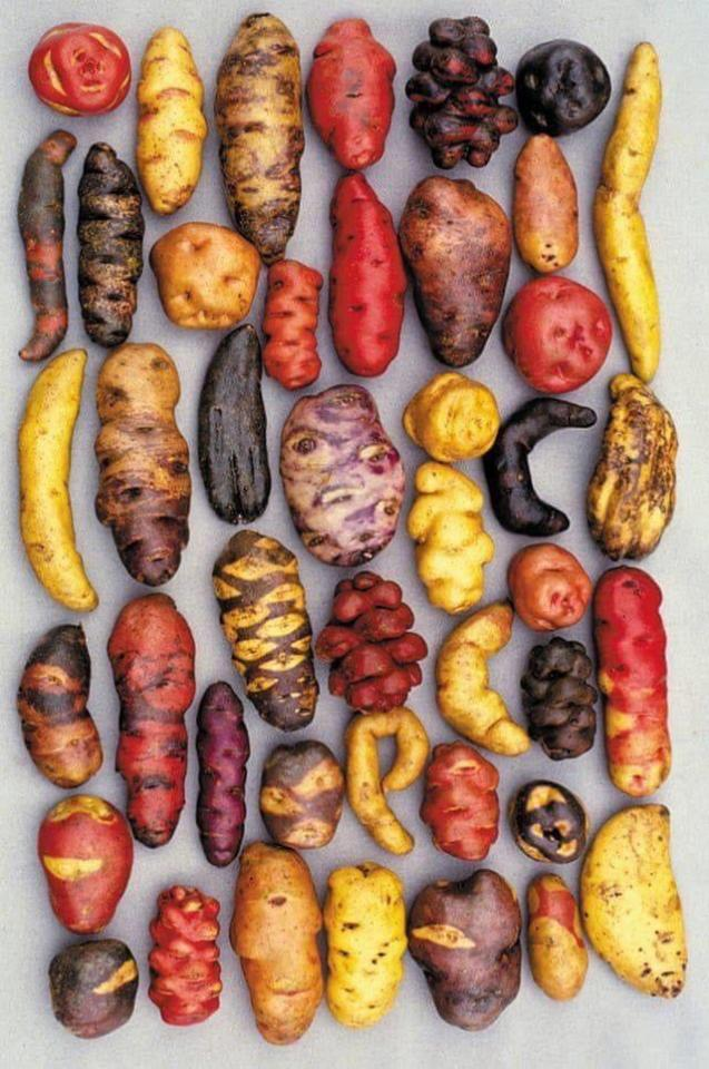 Different varieties of potato, grown in Peru. I love potatoes. #tumblr#new#pics#best#the