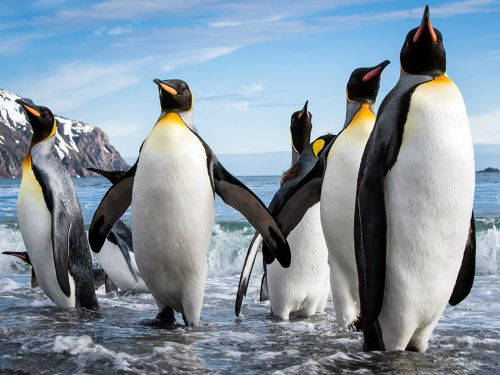 nationalgeographicdaily:  King Penguins, South Georgia IslandPhoto: Cedric Favero