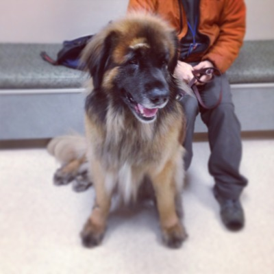 ethereal-organism:  leonberger love
