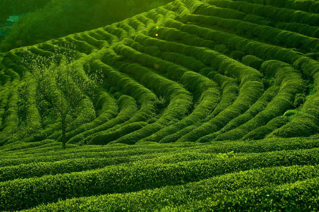 """The rolling green fields of Boseong"" - Boseong Green tea plantations famous for its green tea leaves."