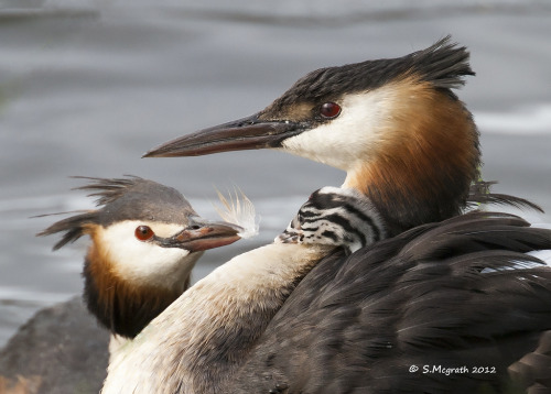 Great crested grebe family (by Glesgastef)