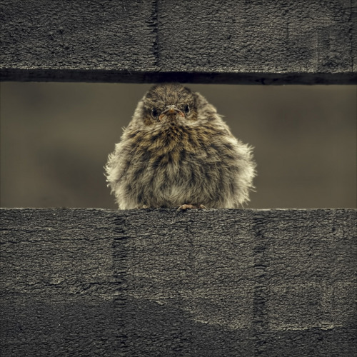 llbwwb:  grumpy chick (by Black Cat Photos)