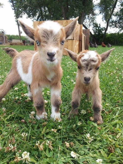 Baby goats!http://cute-overload.tumblr.com