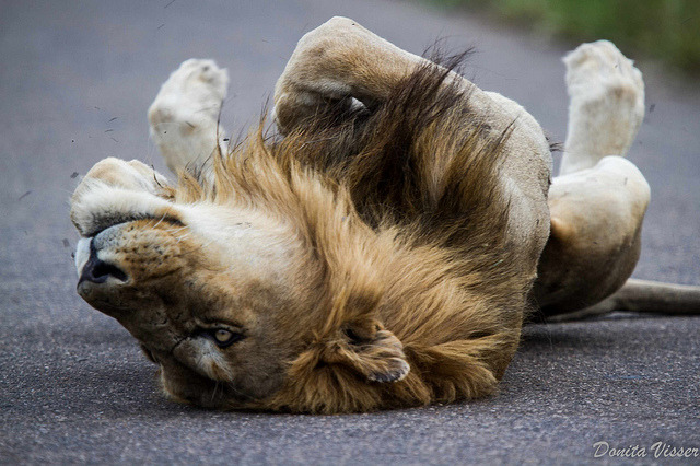 our-lips-locked:  Lion in the road by Donita Visser on Flickr.