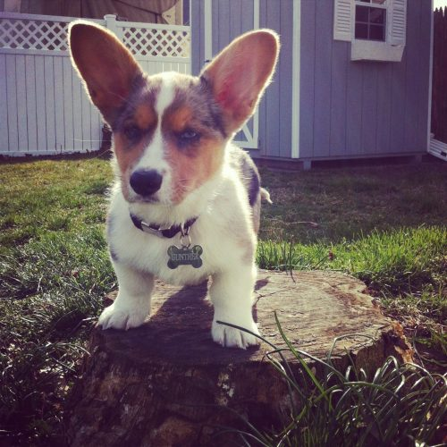 """Grump on a Stump"" We recently added a new addition to our Corg family! Turbo the Pembroke now has a brofur!! Meet Gunther the Cardigan!! The stump he is sitting on has been HIS stump since the first day he was out in the yard. Stumpy LOVES his stump!! =)"