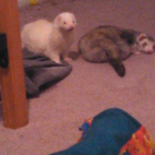 #Bob and #Hendrix are getting to be olllld men! #ferret