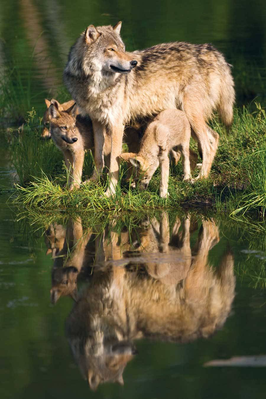 wolveswolves:  By Bryan Welch