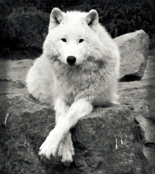 When we cross paths with the wolf we are urged to be aware that we are all teachers to everyone we meet.In a single sentence we can teach love or hate to all those we encounter. (Native American saying)