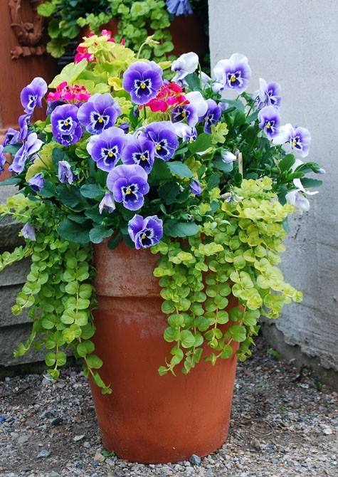 flowersgardenlove:  Beautiful Pansies an Flowers Garden Love