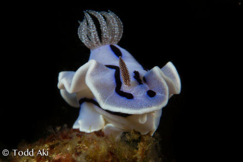 the cyclops nudibranch by Todd Aki on Flickr.