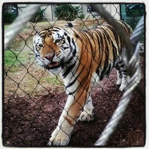 lsuverse:  Mike VI enjoys a stroll.