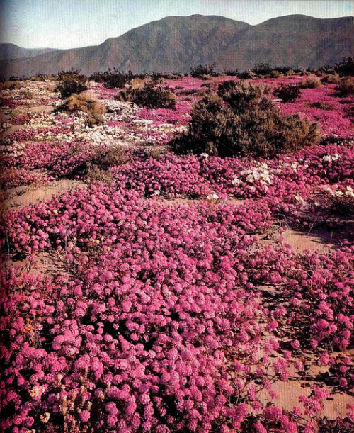 Sand verbenas, nurtured by the brief rainy season, carpet the Borrego Desert of Southern California. Gum and resin on their leaves make the verbenas considerably more drought-resistant than most desert flowers. The shrubs in the background are creosote bushes, whose name comes from the acrid odor they give off, especially after a rain. Leopold, A. Starker. LIFE Nature Library: The Desert. New York: Time, 1962.