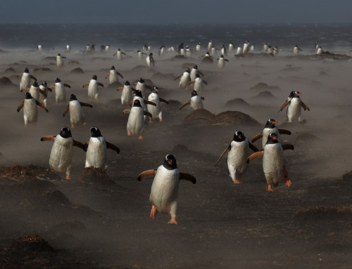 Falklands penguins return home through a sandstorm Image: Michael Lohmann/GDT Earned runner-up place in the bird category of the GDT Nature Photographer of the Year 2013 prize