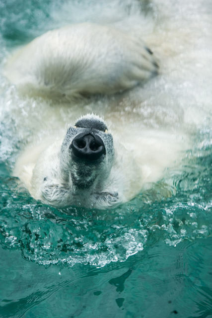 theanimaleffect:  Polar Bear (Nikita) by HollyBerry255 on Flickr.   For some odd reason I thought the nose was a little skeleton head and the muzzle was the body….